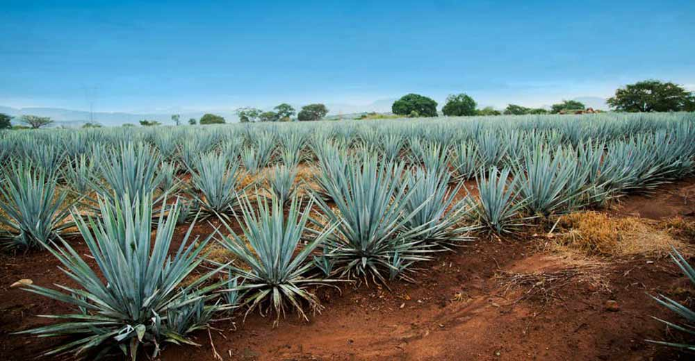 tequila plant