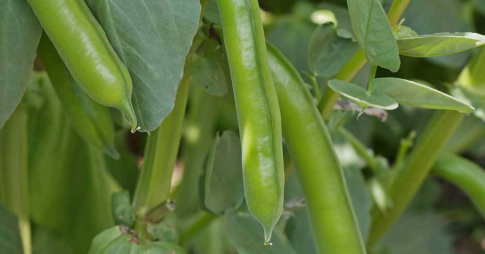Bolts of Medicinal Legumes