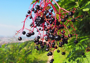 Elderberry Extract.jpg